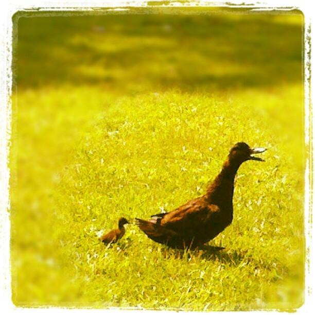 Walk with Mama Duck