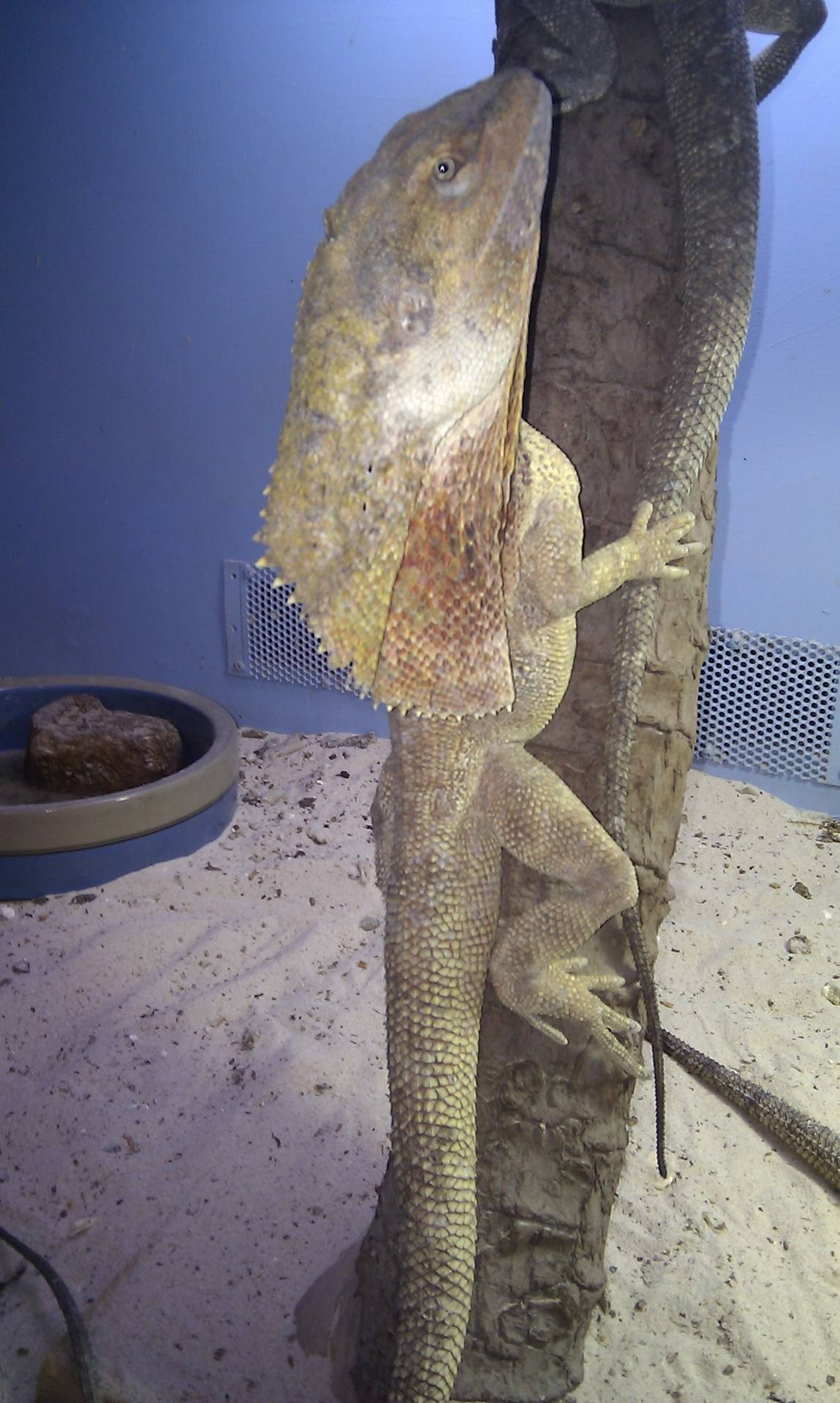 Frilled Neck Dragon NT - Male