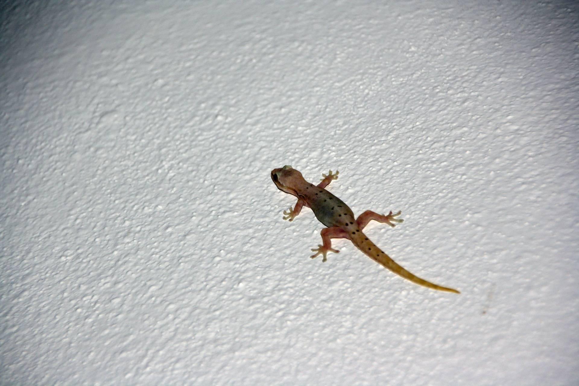 Lizard at Los Mandarinos Hotel in Anton Valley
