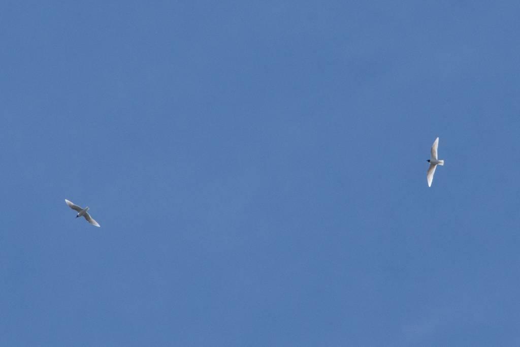 Mediterranean Gull (MOUETTE MELANOCEPHALE)
