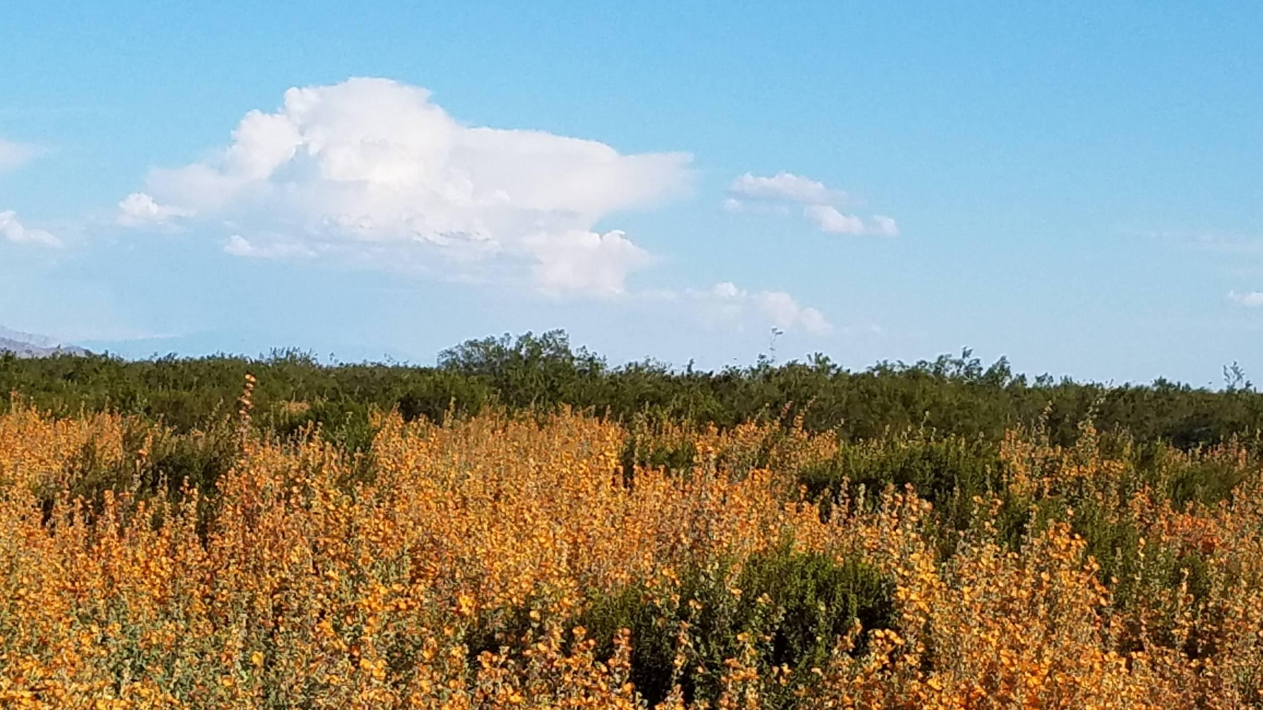 Fields of Globe Mallow