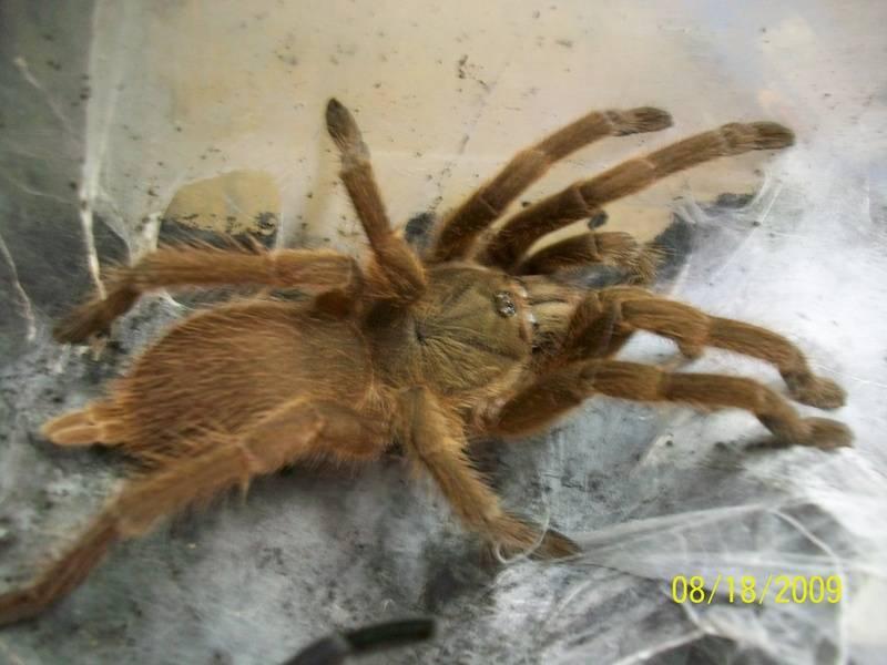 Chilobrachys guangxiensis