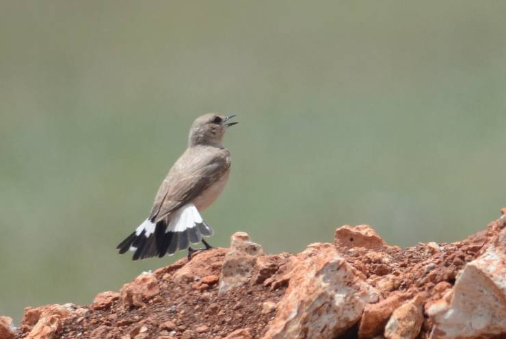 Isabelline Wheatear  -  TRAQUET ISABELLE