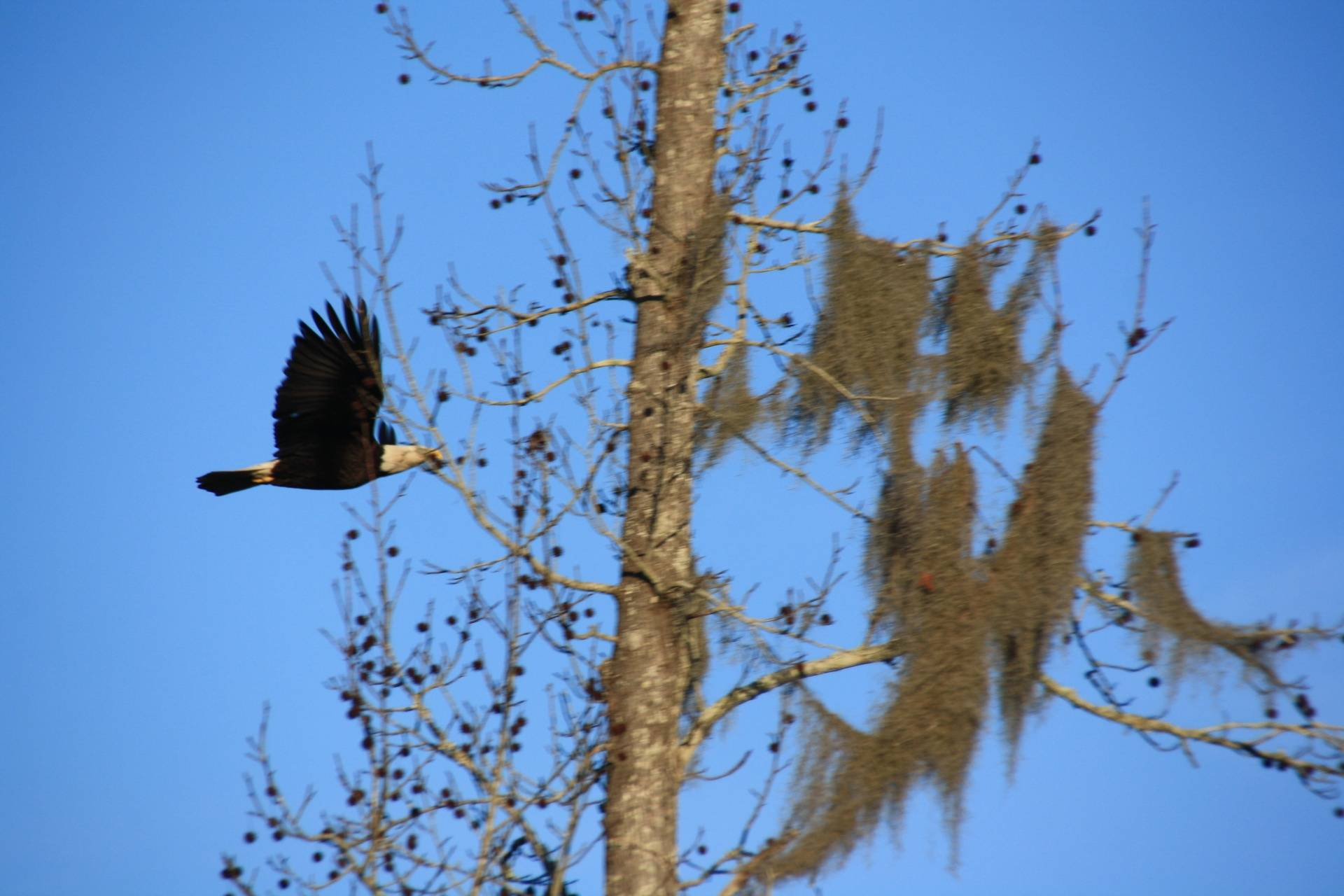 Bald Eagle, Lake Marion SC