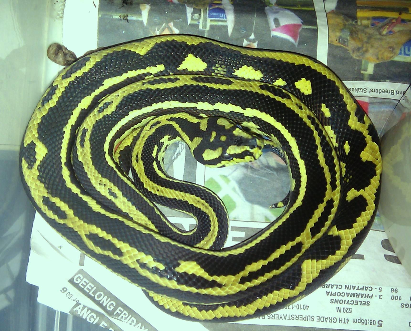 Jungle Carpet - Palmerston Striped male - hold back