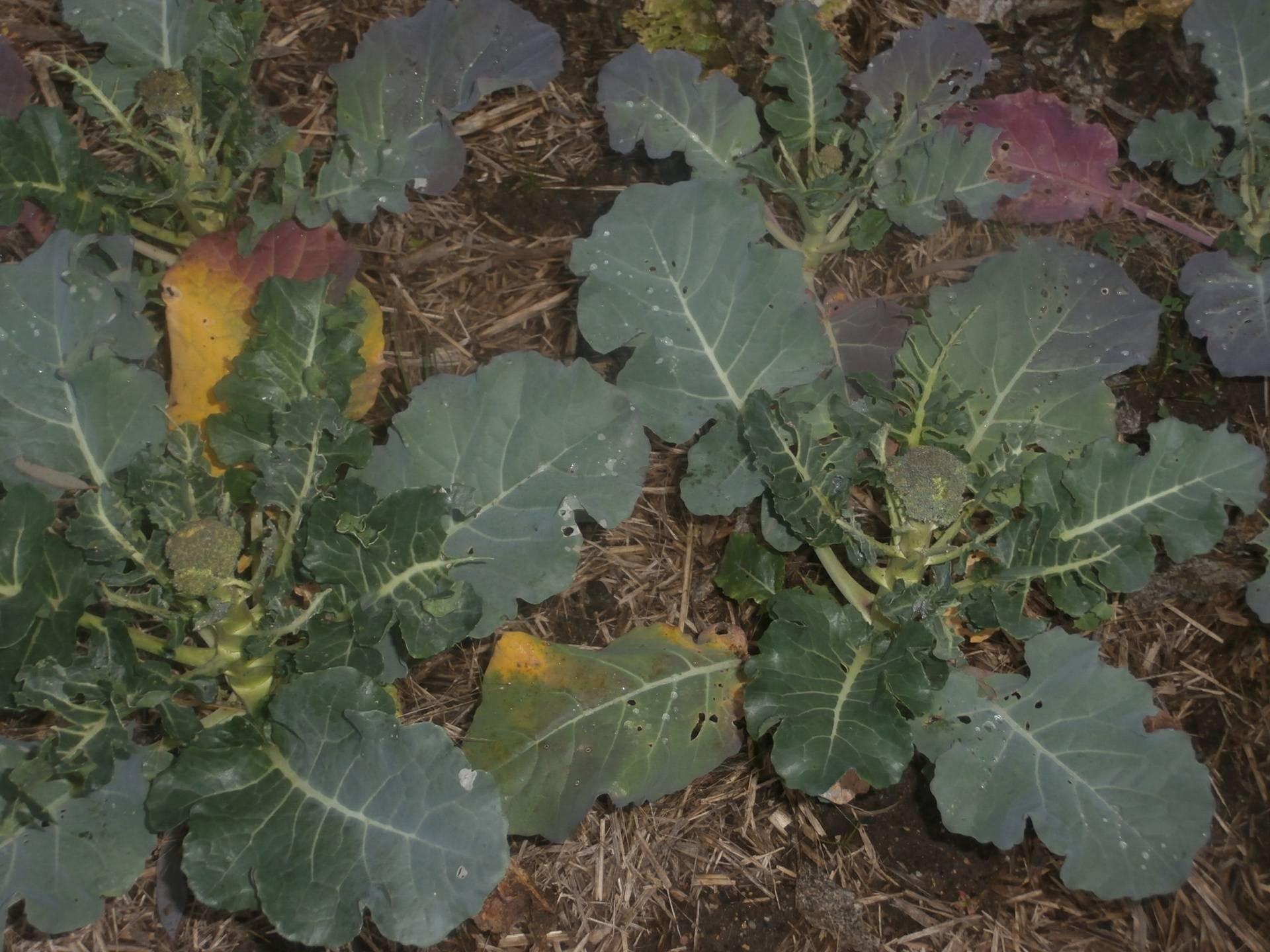 Brocolli Cabbage and Cauli's going well