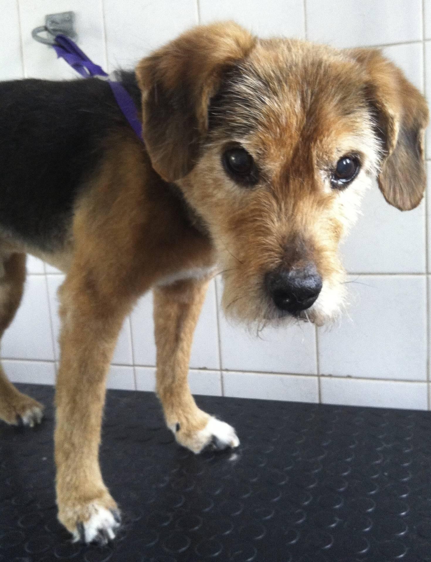 Buster - Terrier spaniel x