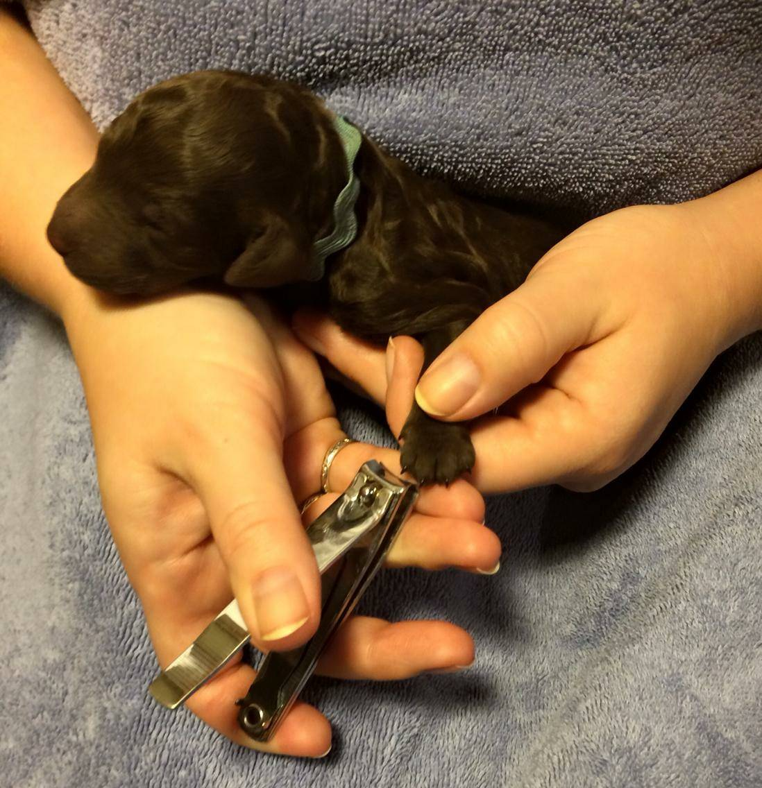 The puppies were born with well formed toenails so the husbandry started today with nail trimming.  1 day old.