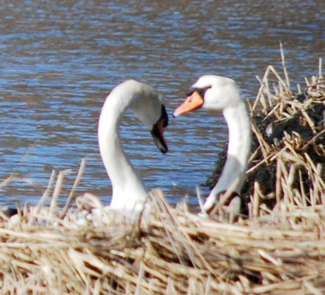 Swans at Salt Pond