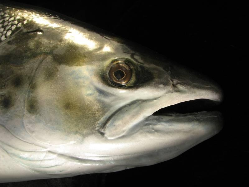 Atlantic Salmon 13lb