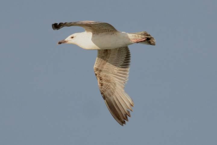 Yellow-legged Gull  -  GOELAND LEUCOPHEE