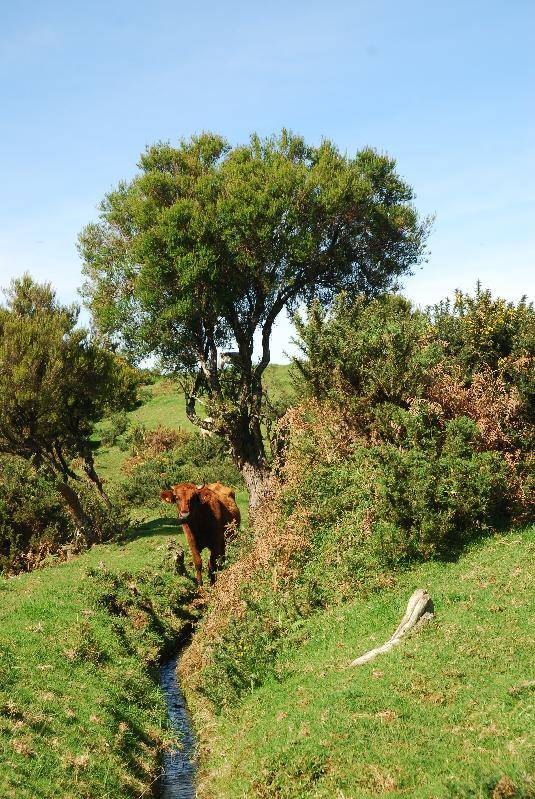 A cow enjoying a drink from one of the levadas high up in the mountains