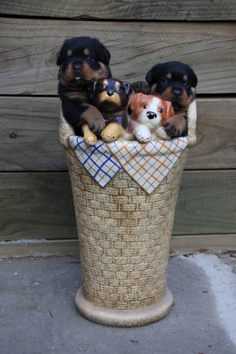 Freyas surviving puppies at 3 weeks