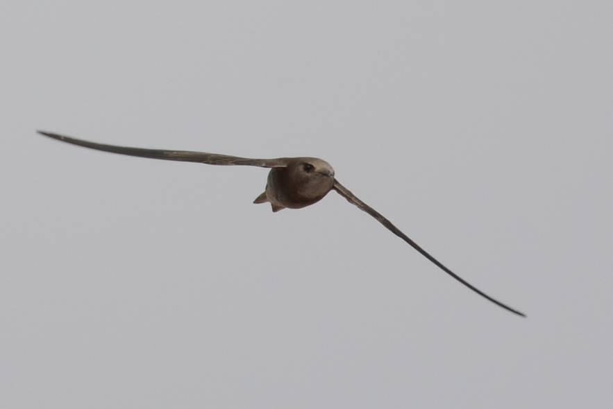 Pallid Swift  (MARTINET PALE)