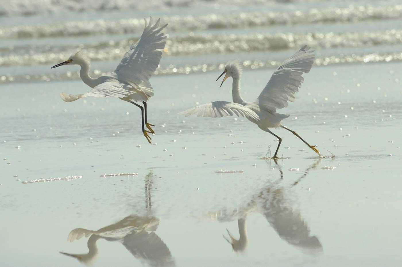 Aigrette neigeuse - Snowy egret  4