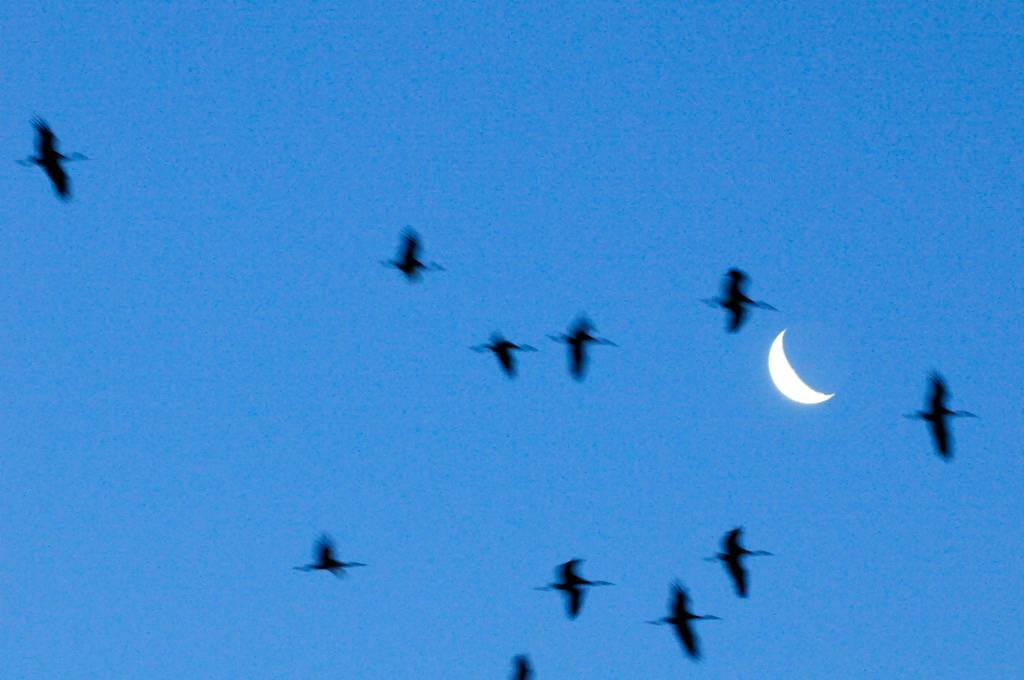 Grues - Cranes in flight