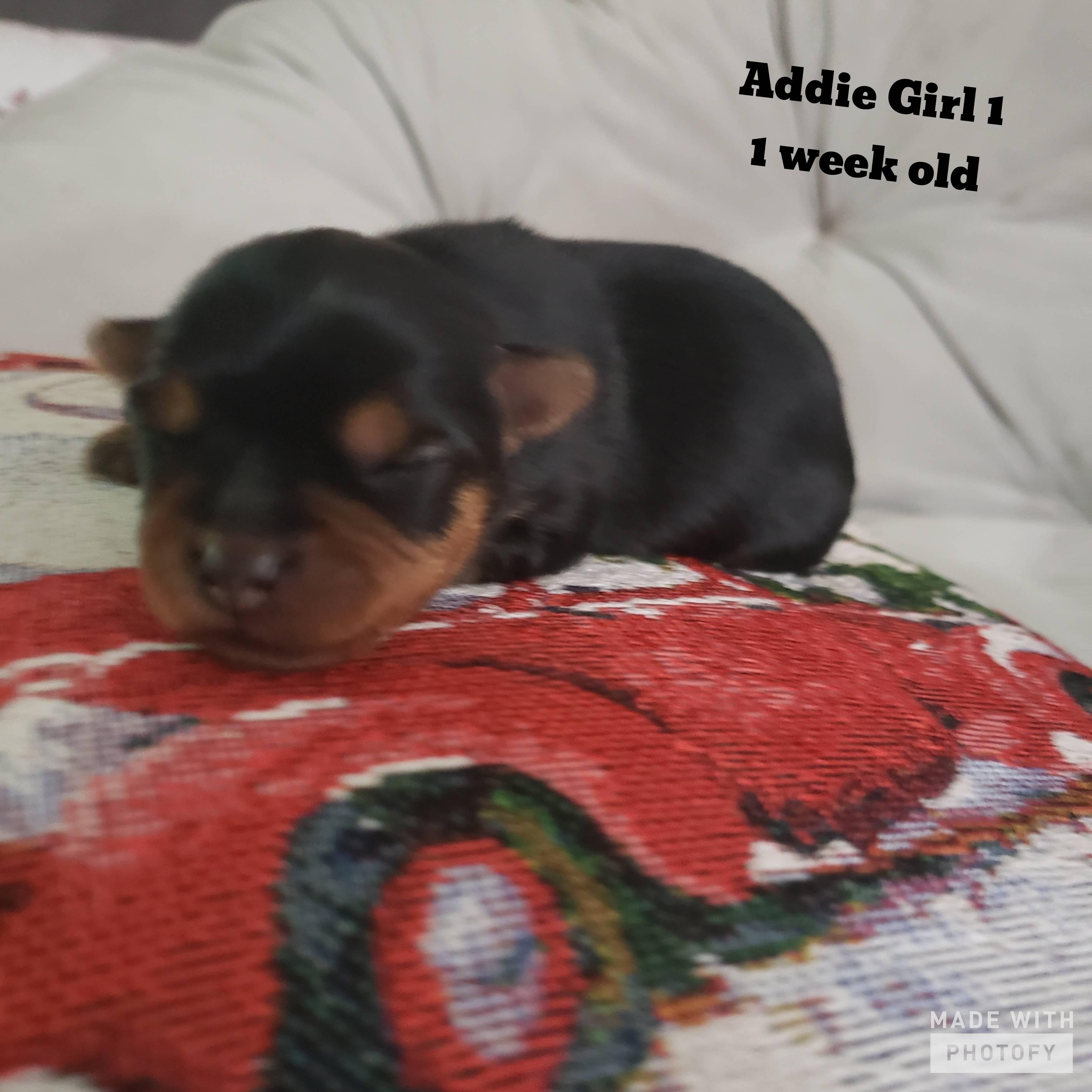 Addie's Pups Born 12/8/2019