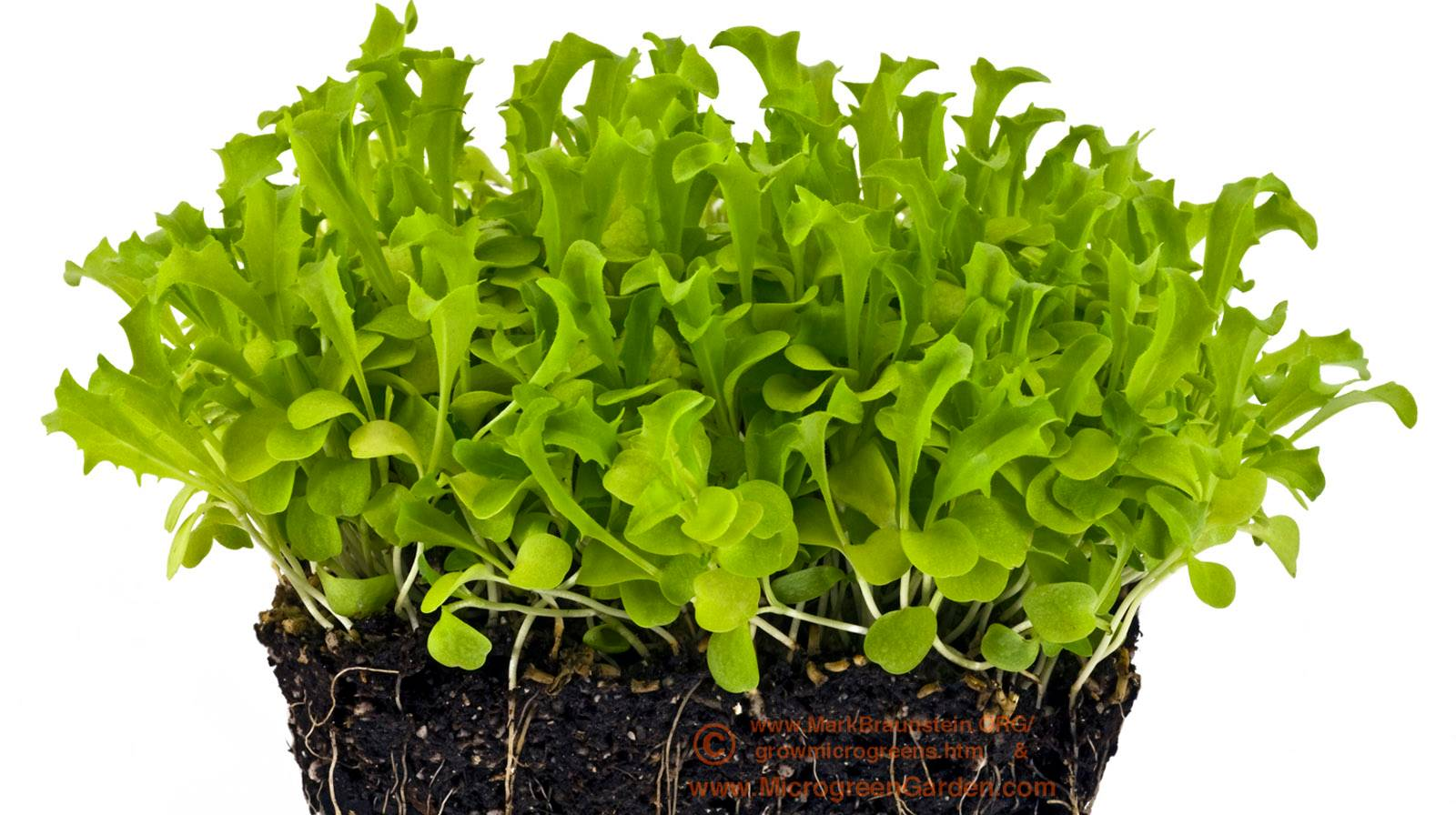 ENDIVE microgreens, 26 days since sown; true leaf stage