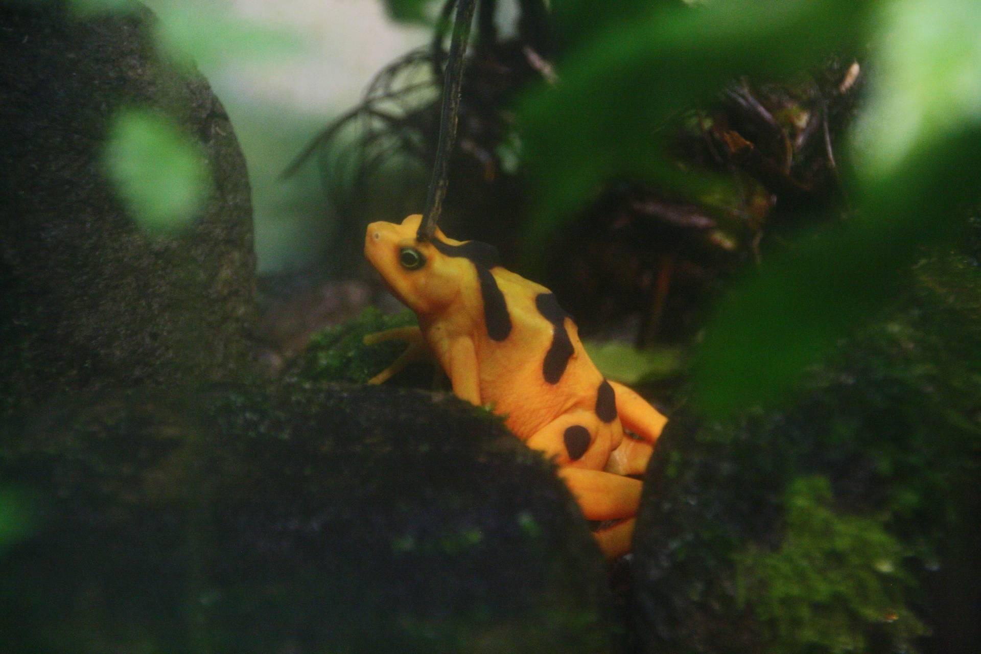Panamanian Golden Frog at El Nispero Zoo