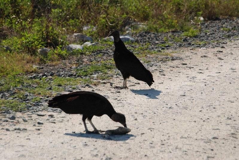 Vultures on Merritt Island