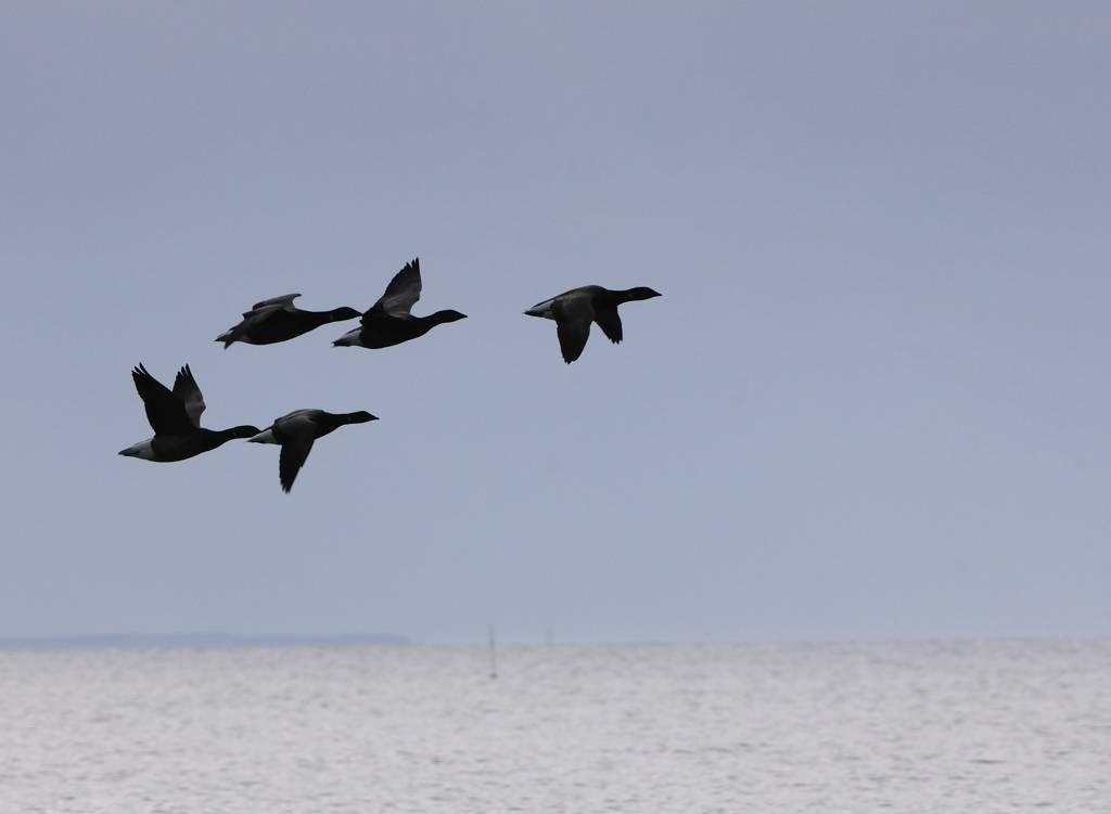 Oies bernaches - Barnacle geese