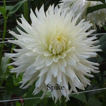 Spike-AA C W