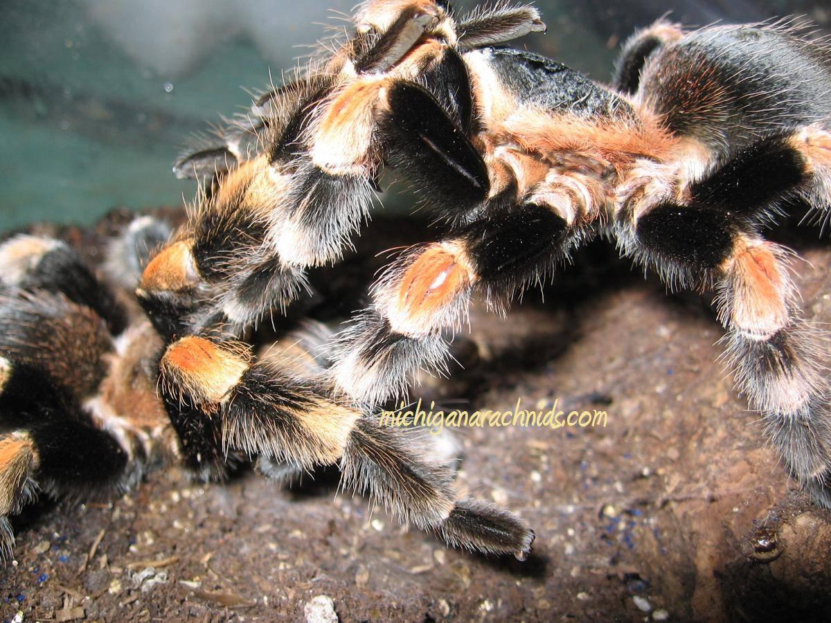 B.smithi breeding 2011 (2)