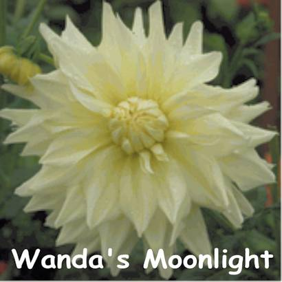 Wanda's Moonlight-AA ID Yellow