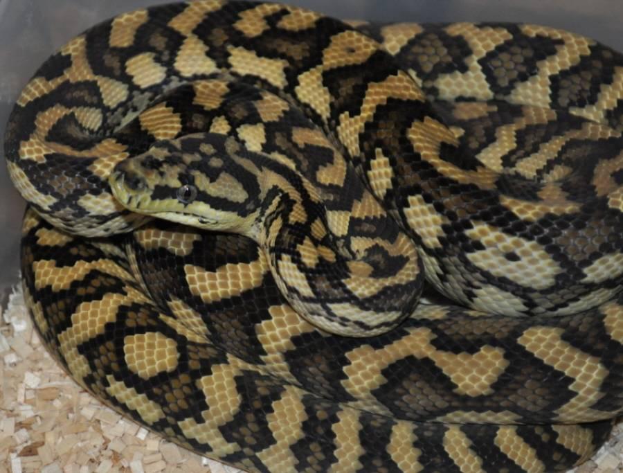 75% Irian Jaya Carpet Python