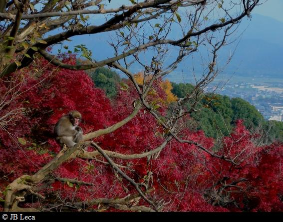 Red leaves - Young monkey