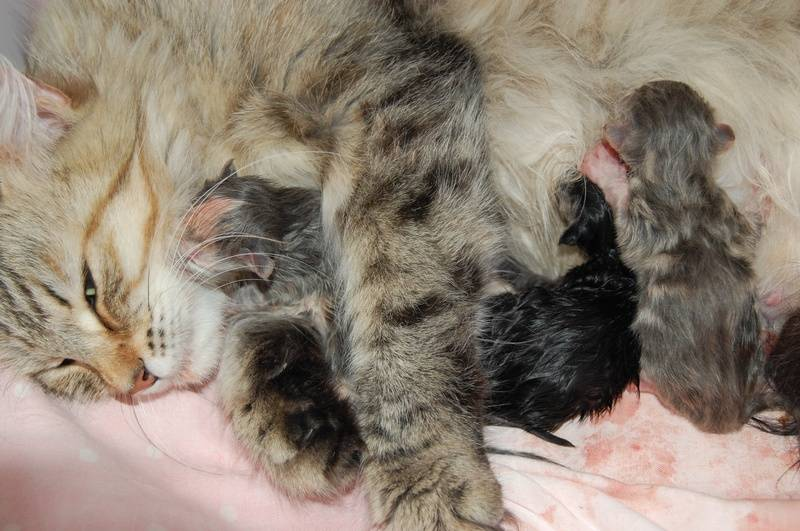 Jokotai med sitt første kull, født 25.08.09!