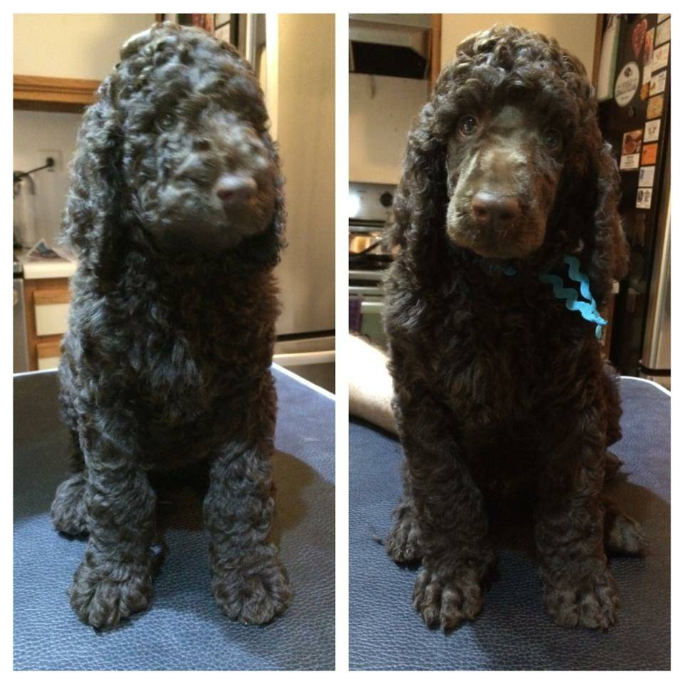 Blue before and after his first grooming.  47 days old.