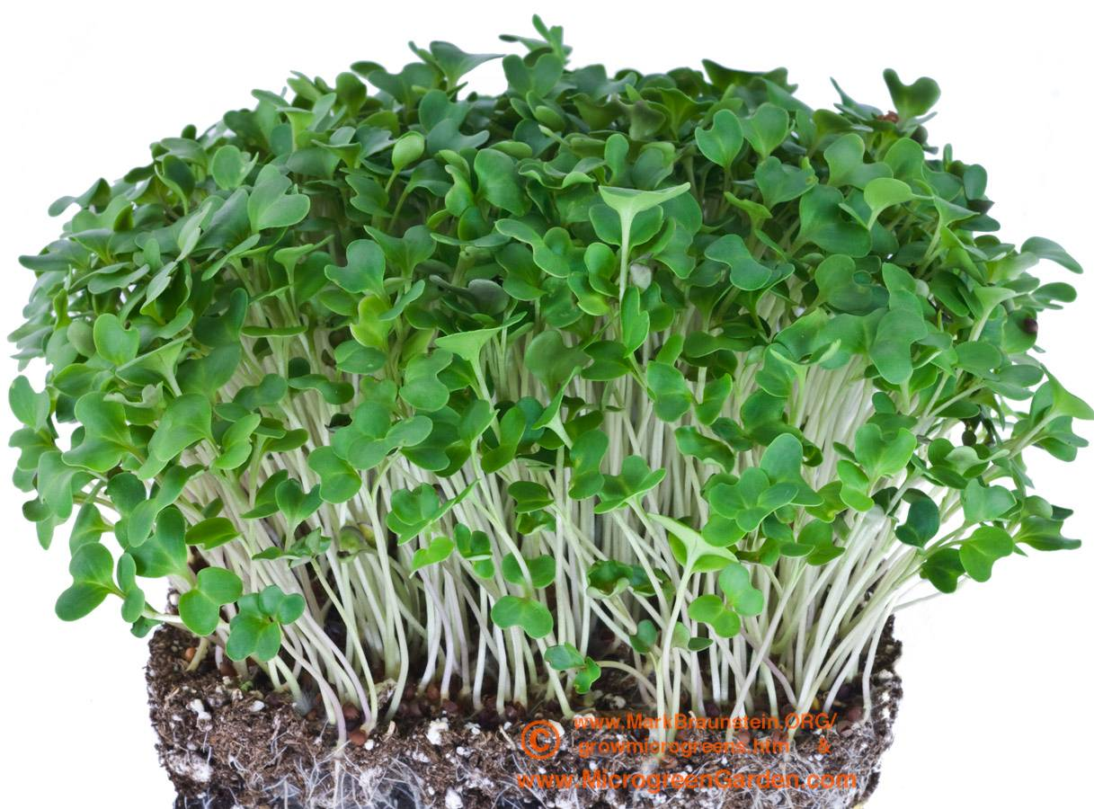 COLLARDS microgreens, 10 days since sown