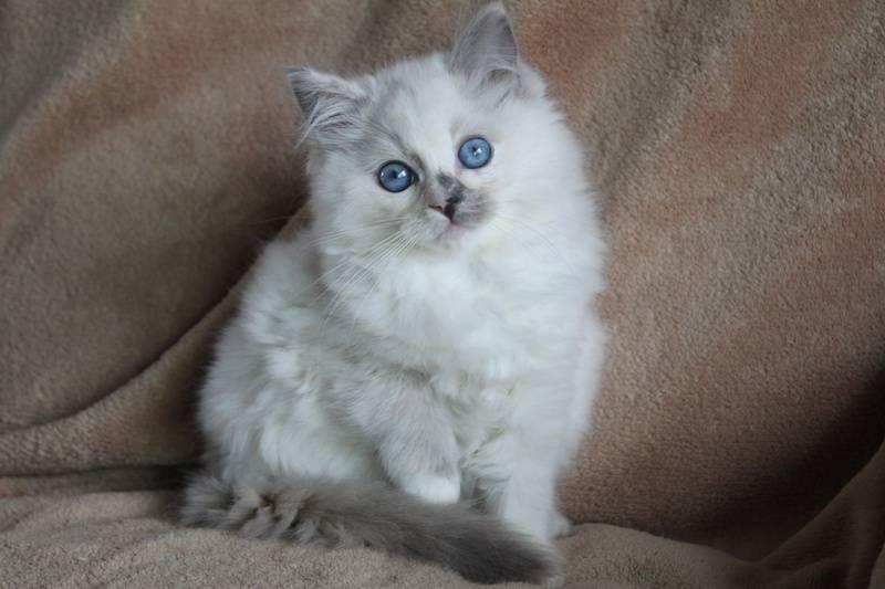 Blue/Cream Tortie Mitted Baby