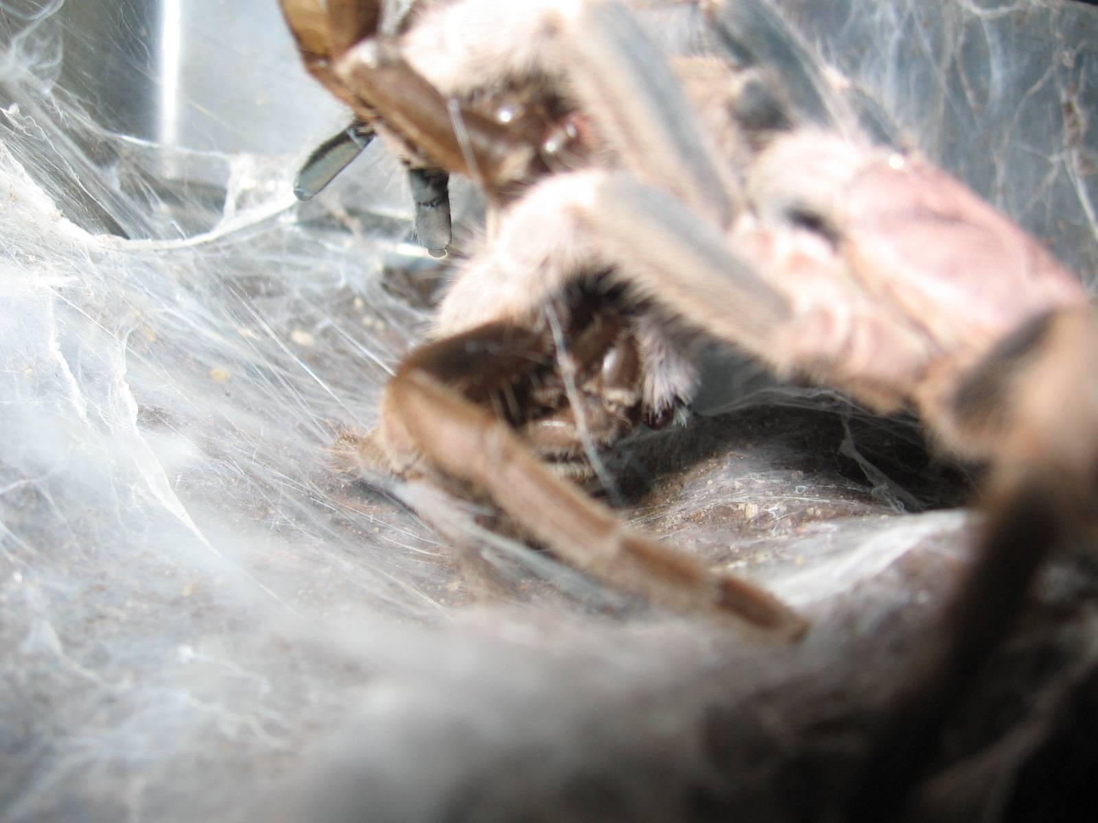 """Philogius sp """"Aussie Goliath"""" breeding 2012"""