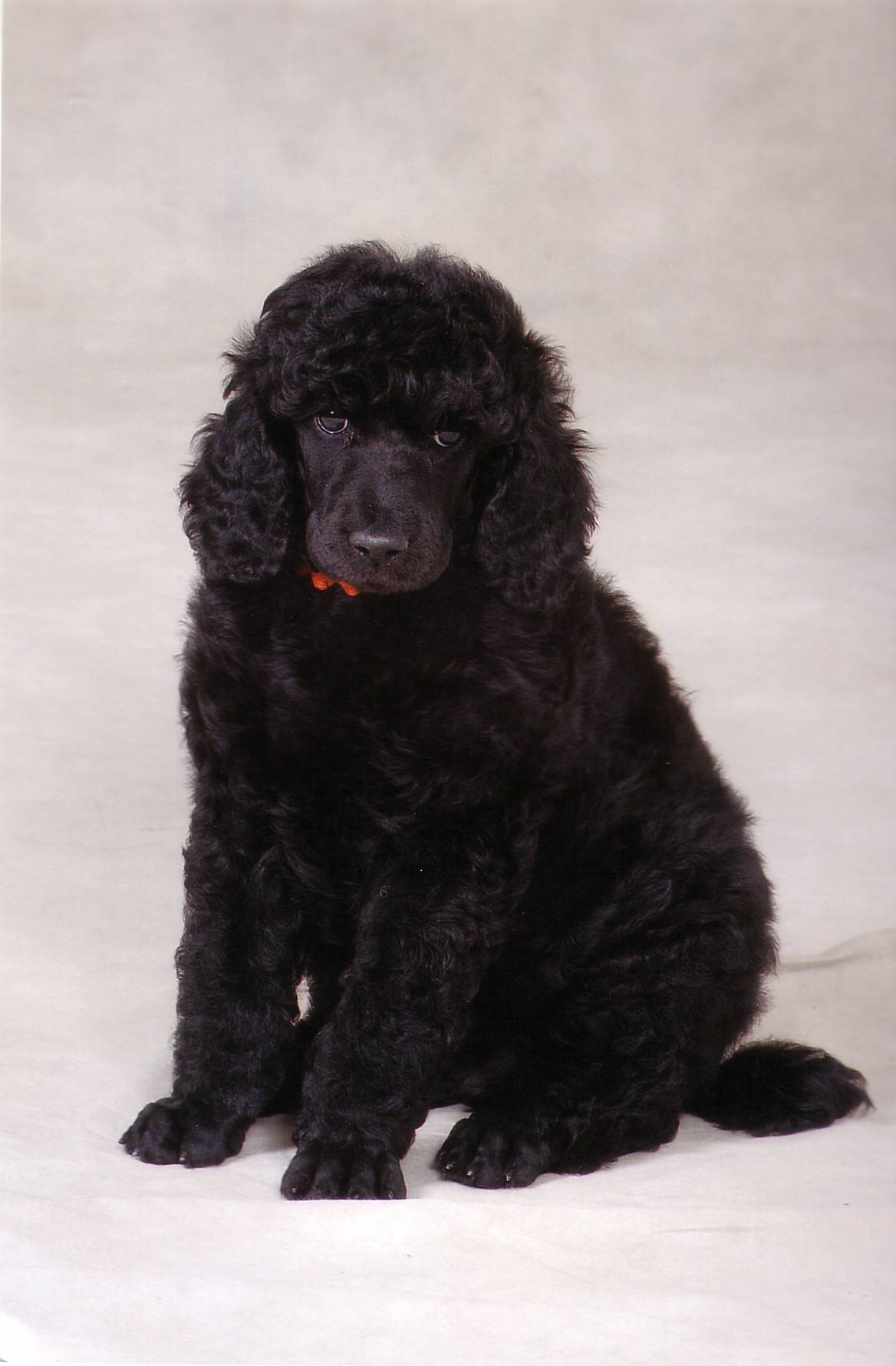 Wilson.  7 weeks old.  Photo taken by Terry Rowe.  http://www.rowepetart.com/