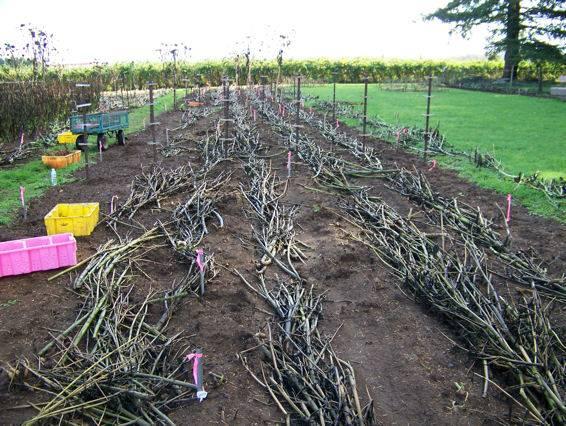 Field of Stalks ready for rototilling