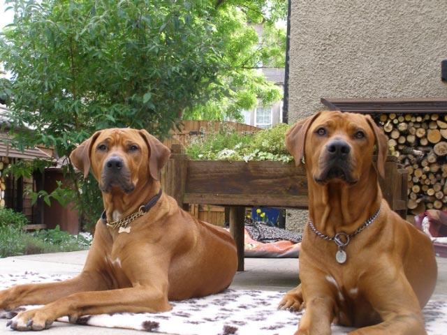 Luke and Elvis, handsome hounds