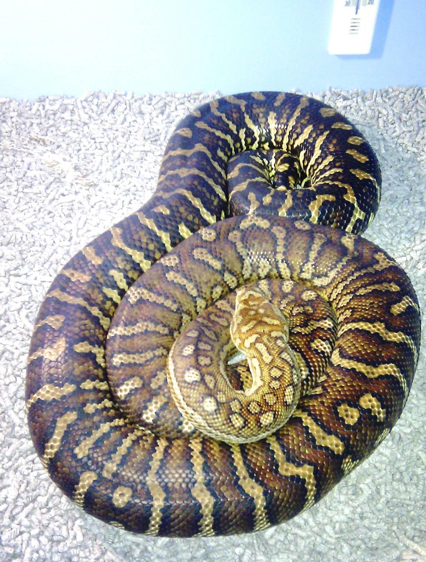 Centralian carpet Female breeder #2