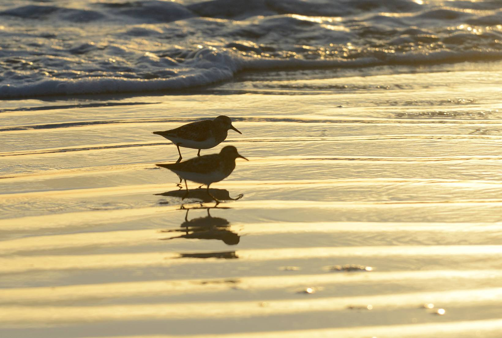 Limicoles - Sandpipers