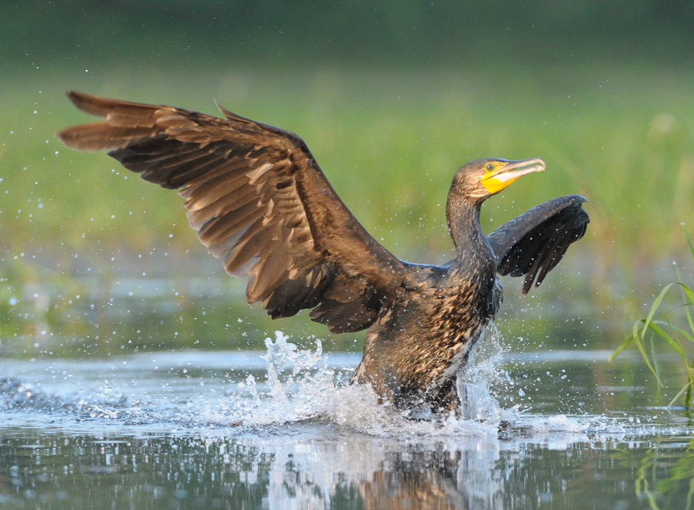 Cormoran - Cormorant  2