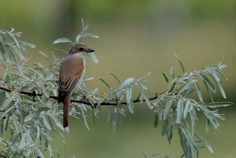 Red-backed Shrike  -  PIE-GRIECHE ECORCHEUR