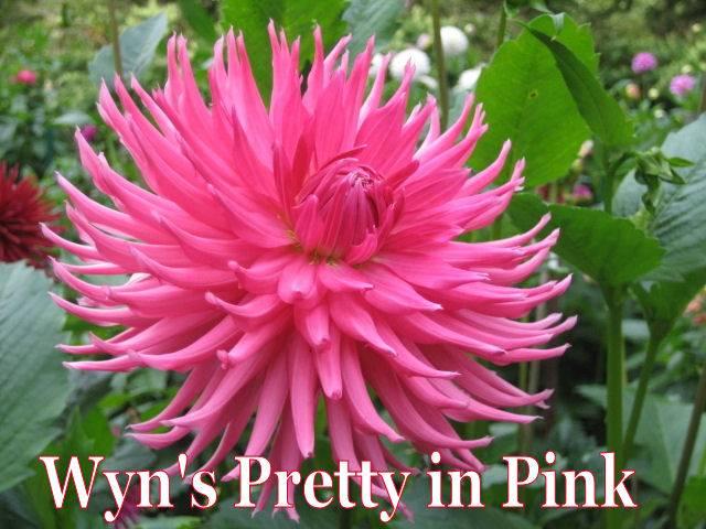 Wyn's Pretty in Pink-BB SC DkPink