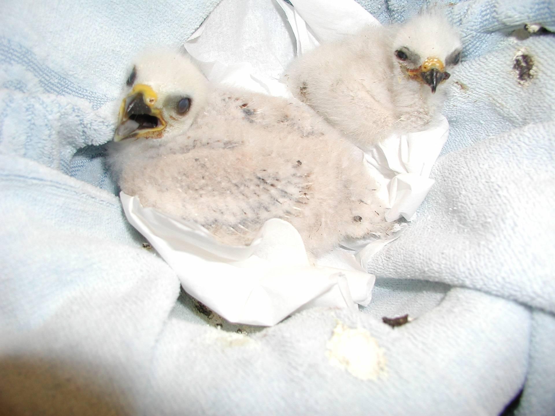 Two Mississippi Kite chicks