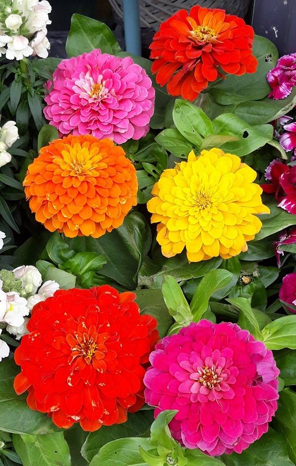 Coloured Zinnias