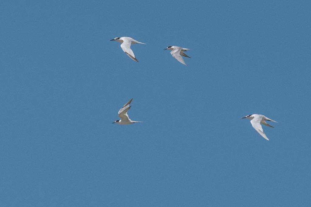Sandwich and Common Terns