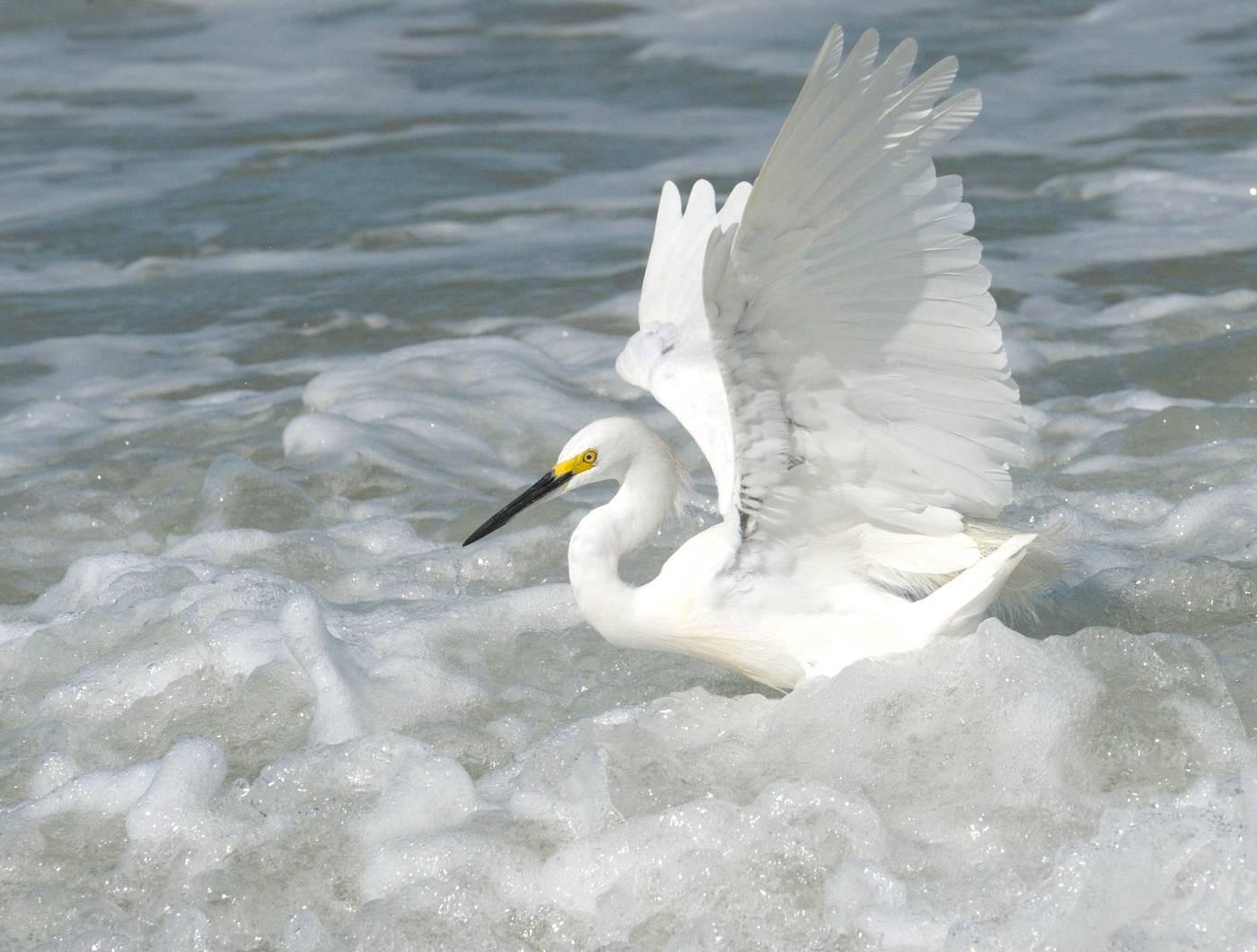 Aigrette neigeuse - Snowy egret  3