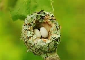 Hummingbird Nest