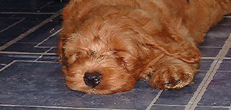Red male puppy