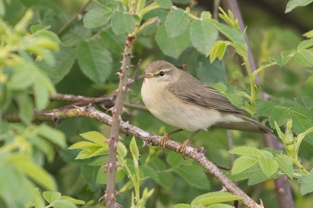 Willow Warbler  (Pouillot fitis)